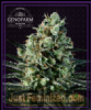 Genofarm Goldenberry Female 10 Cannabis Seeds